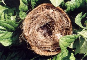 Picture of bird nest made with coir fiber.