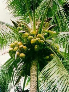Picture of coconut tree with coconut fruits.